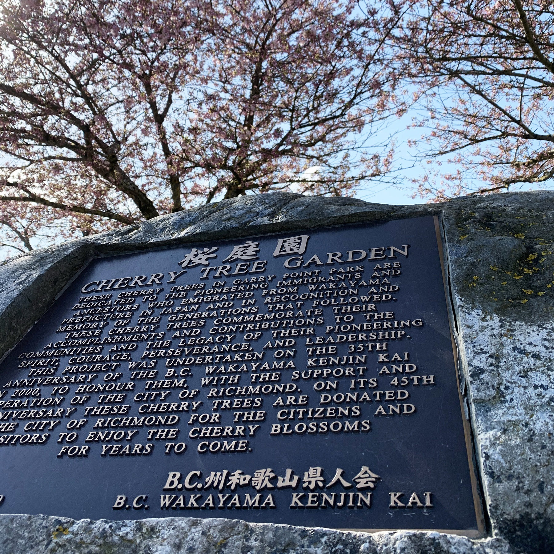 Photo of plaque about the Cherry Tree Garden from the BC Wakayama Kenjin Kai. In the background, a canopy of blossoming cherry trees can be seen.
