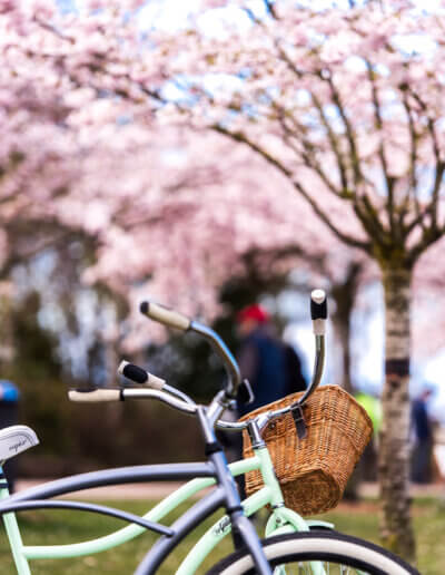 A bicycle set against a backdrop of cherry blossoms