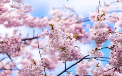 What are cherry blossoms?
