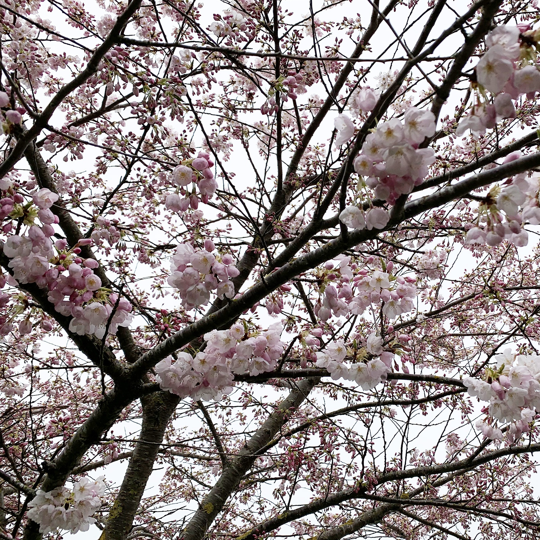 A photo of cherry blossoms against a gray, cloudy sky.