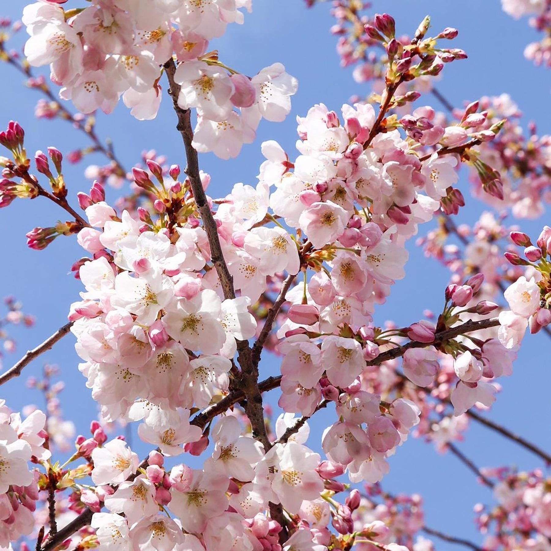 A photo of cherry blossoms budding against a blue sky.