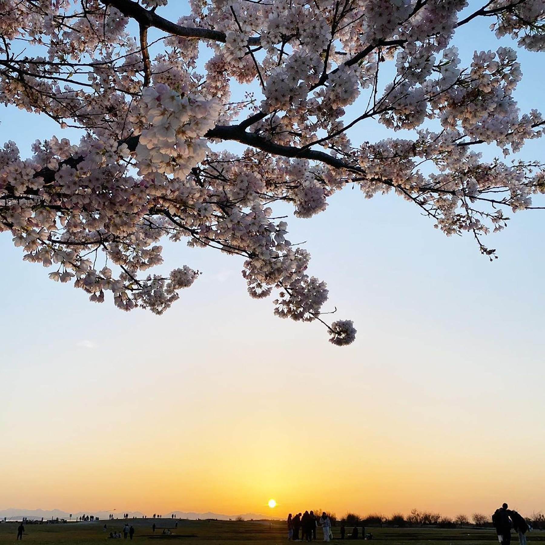 A photo of cherry blossoms set against a backdrop of a dusky, blue-yellow sunset.