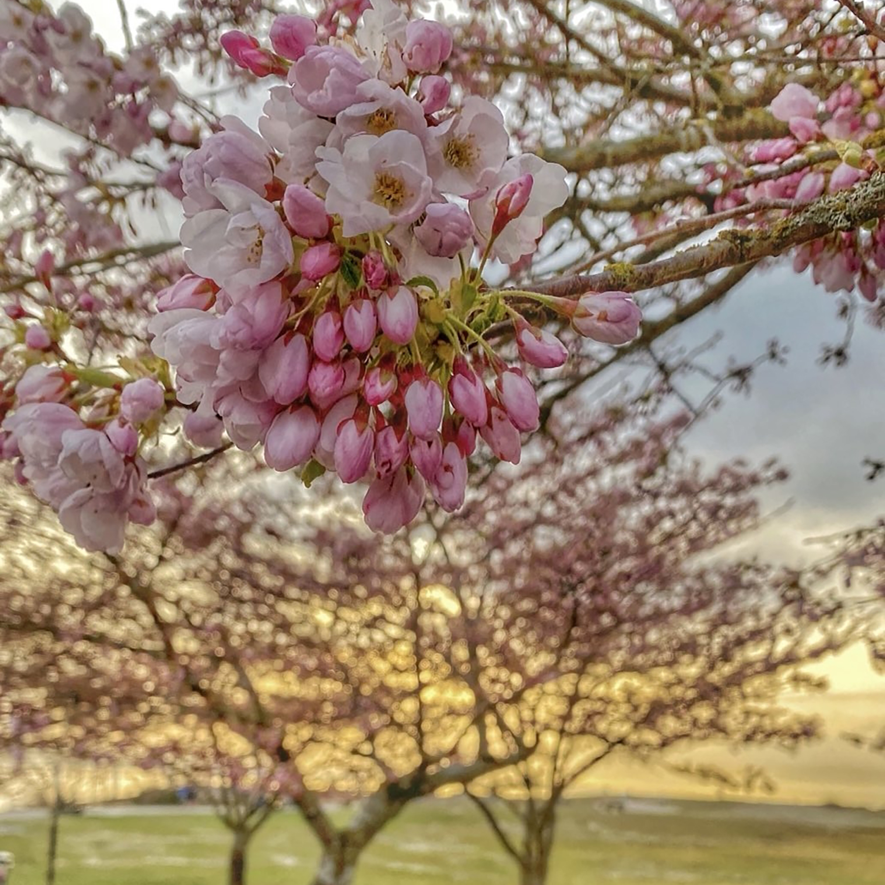 A photo of partially bloomed cherry blossoms, set against the backdrop of a park at dusk.