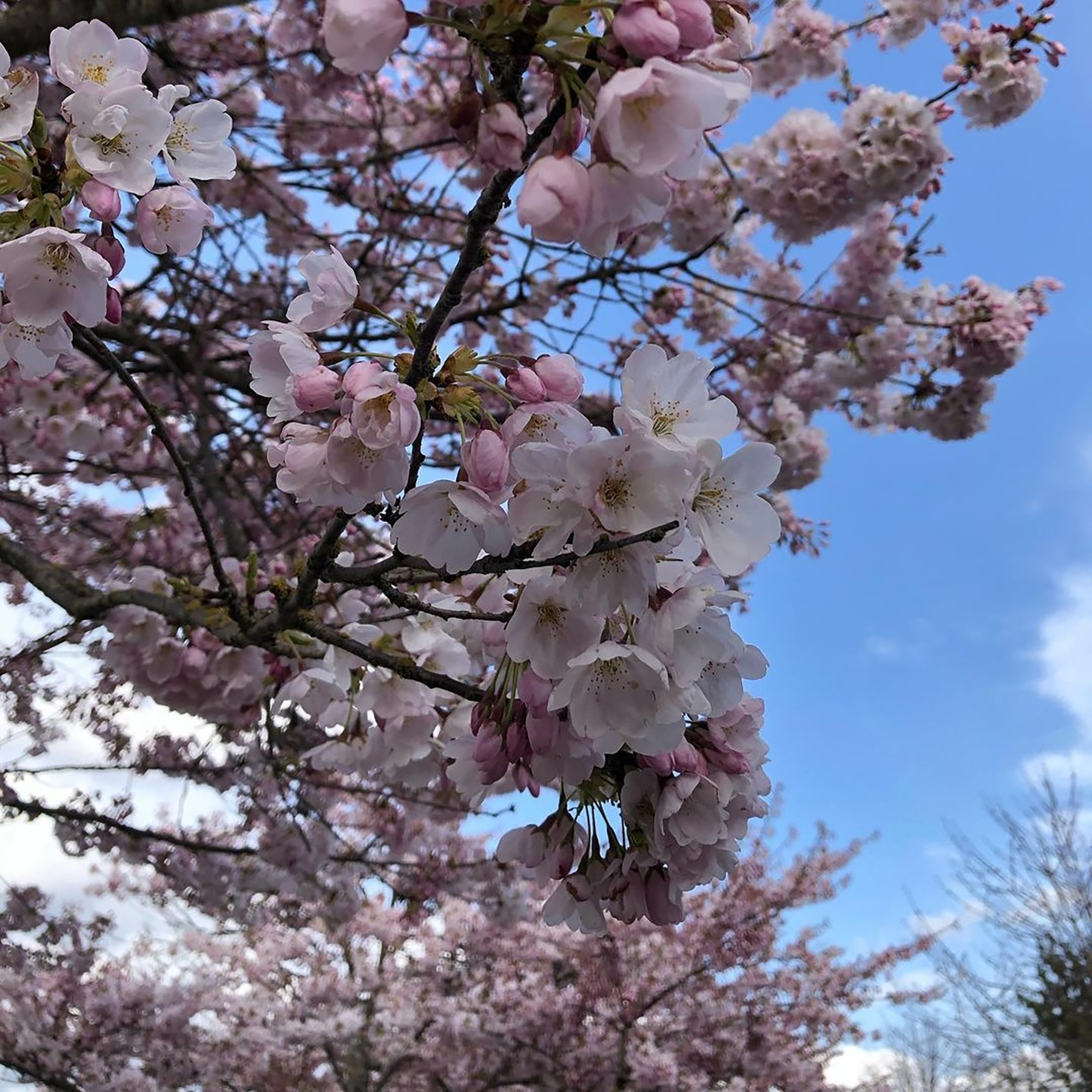 Photo of cherry blossoms blooming against a blue sky.