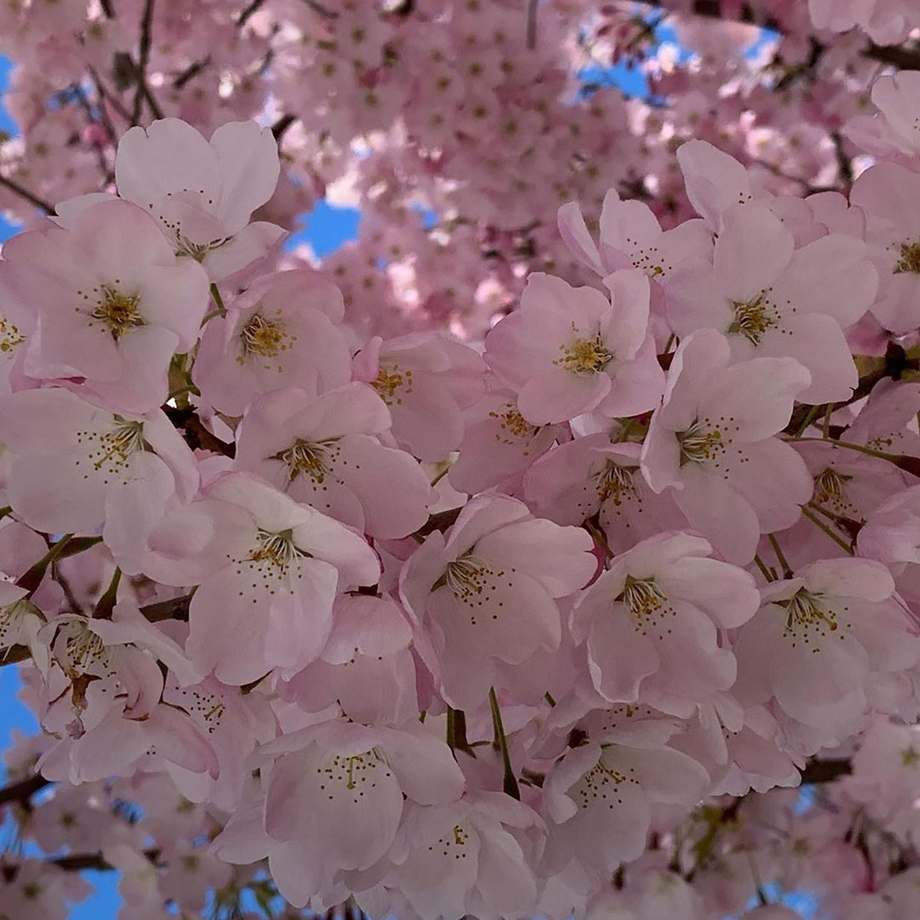 Close-up photo of cherry blossom flowers.